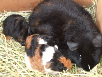 Preloved | can 2 pregnant guinea pigs live together? discussion uk